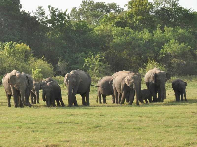 Asiatische Elefanten in freier Wildbahn