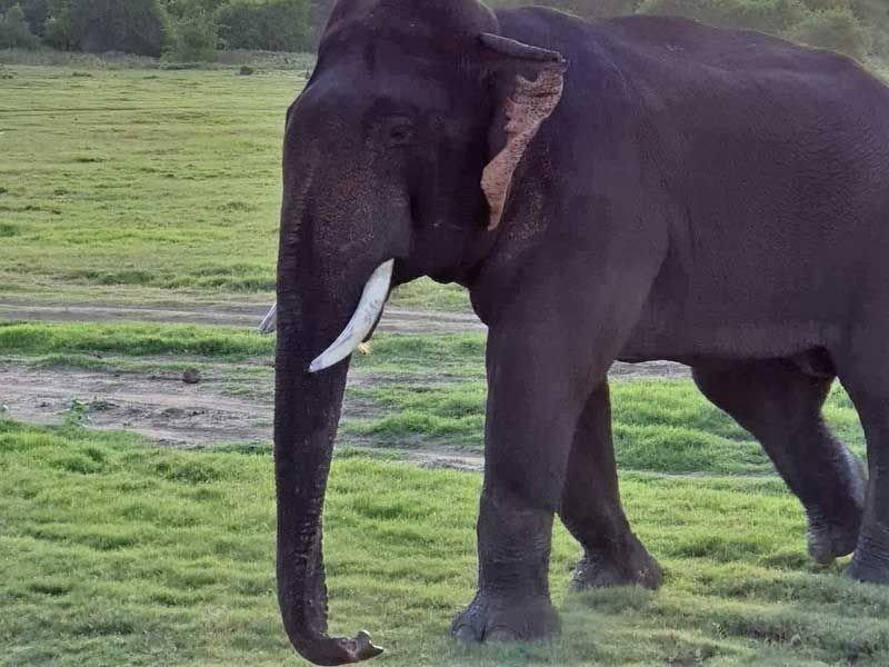 Ein stattlicher Elefantenbulle mit Stoßzähnen