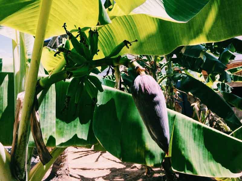 Die Banane (Kesel)