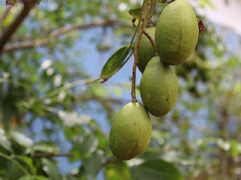 Ambarella Früchte im Garten des Angels Home