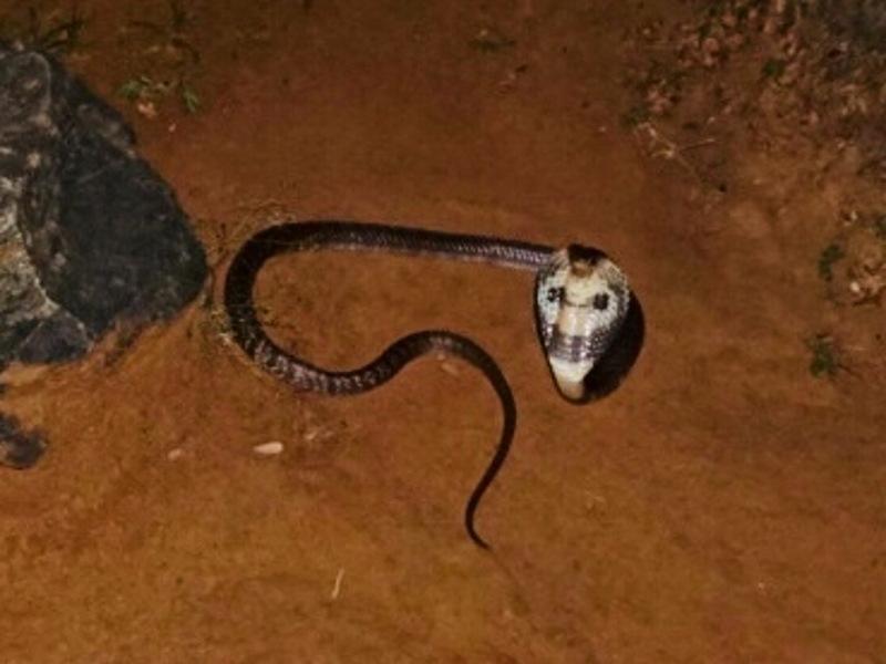 Die Cobra