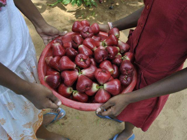 Die Mädchen sind zufrieden mit dem Ertrag ihrer Jambuernte