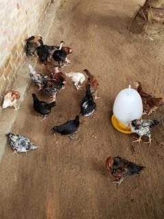 Die Hühnerschar im Angels Home