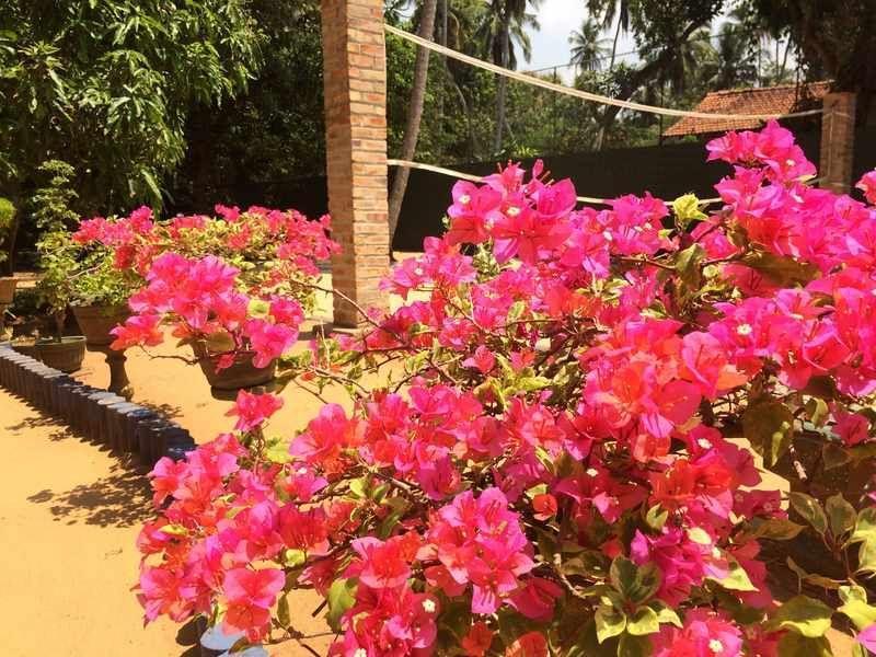 Bougainvillea im Angels Home