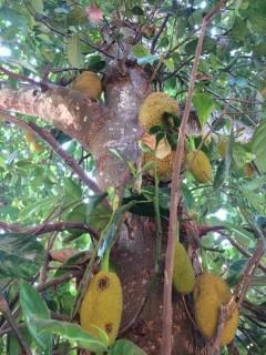 Die Früchte des Jackfruchtbaums