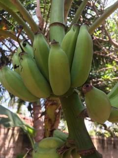 Die Bananenstauden sind am Reifen